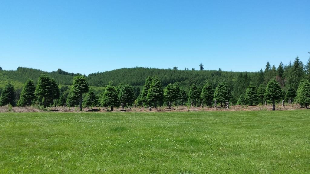 Christmas tree farm next to our campground